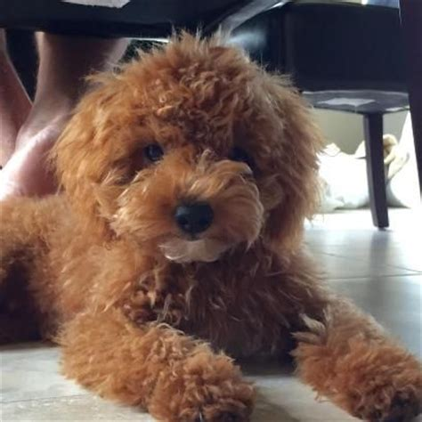 goldendoodle puppy arkansas my doodle darlins miniature and goldendoodle