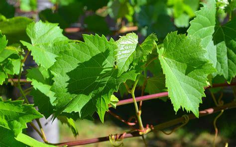 green vine wallpaper vine leaves full hd wallpaper and background image