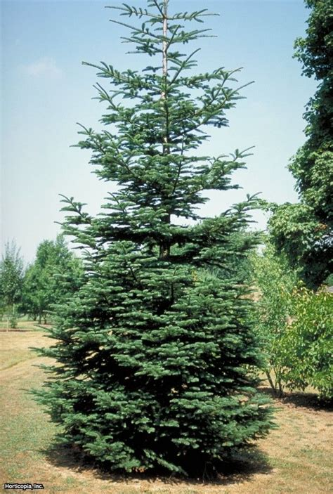 1000 ideas about coniferous trees on pinterest tree