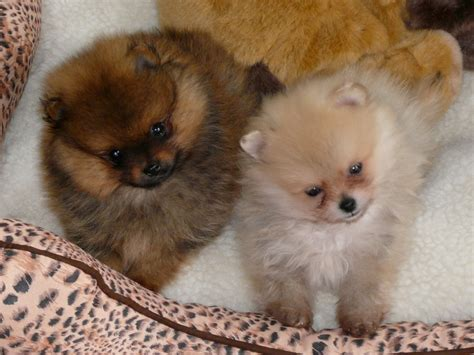 pomeranian bed correct bed for your pom pomeranian information and facts