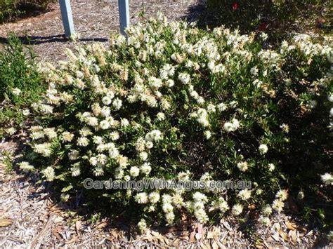 Types Of Soil For Gardening - bottlebrush callistemon citrinus white anzac anzac