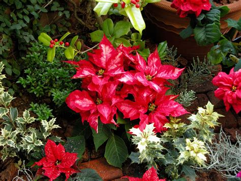 plants and flowers popular christmas plants and flowers