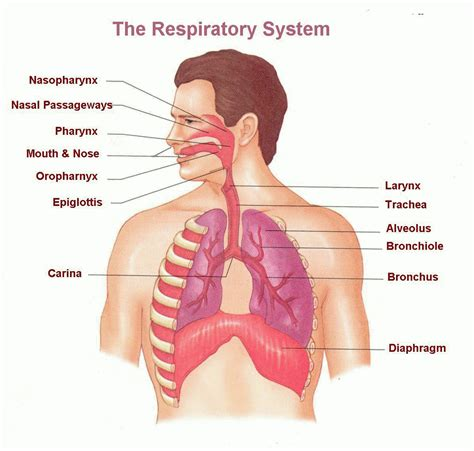 diagram of the respiratory system human respiratory system anatomy list