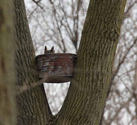 great horned owl nest box