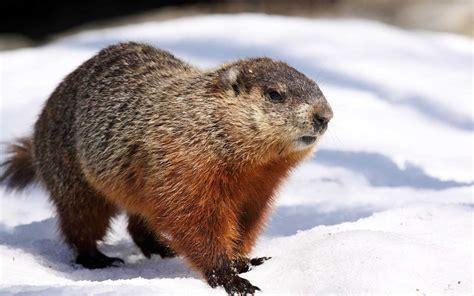 groundhog day utah marmots