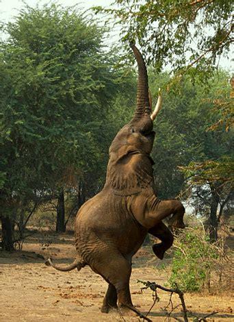 imagenes elefantes jirafas fotos de elefantes