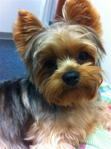 yorkie summer haircut photos 129 best images about yorkies on pinterest puppys