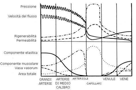 lunghezza vasi sanguigni vasi sanguigni