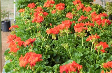 Botanic Gardens Plant Sale Botanical Garden To Host Plant Sale The Record