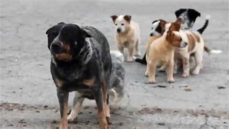 australian cattle puppies for sale australian cattle puppies for sale