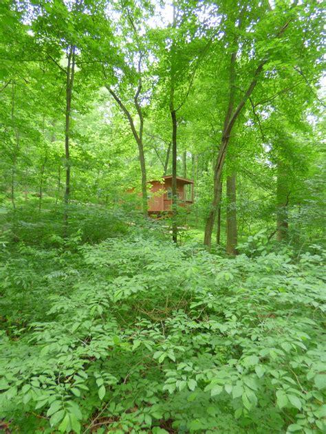 maryland maple trees review of maple tree cground treehouse cing kid