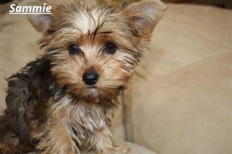 yorkie adoptions yorkie puppies dogs for adoption adopt a pet pets world