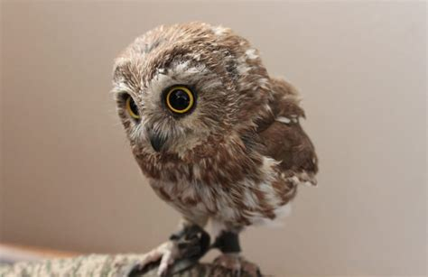 10 fascinating facts about baby owls