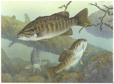 Fisch Bass by Bass Fishing Wallpaper Backgrounds Wallpaper Cave