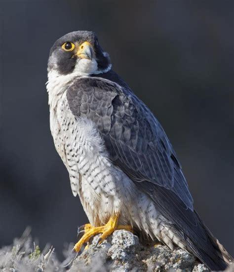 1560 best birds images on pinterest birds of prey