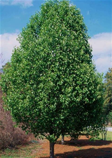 cleveland ornamental pear  pot   plants