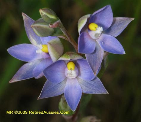 Tas Orchid by Tasmanian Orchids Thelymitra Bracteata