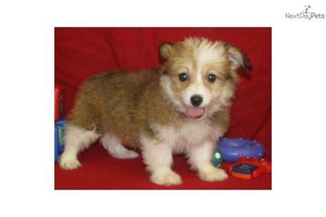 corgipoo puppies for sale meet aspen a corgi pembroke puppy for sale for 300 corgi poo pembroke