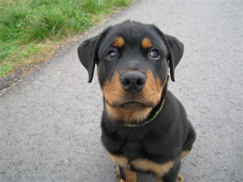 rottweiler reason 12 reasons why you should never own rottweilers