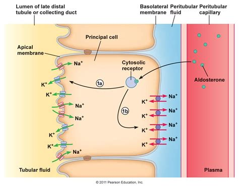na  passive transport luminal menbrane na  atpase