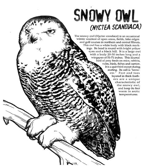 arctic snowy owl coloring pages coloring pages