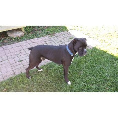free puppies flint mi black boxer stud boxer stud in flint michigan listing id 22439