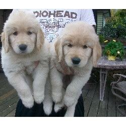 free puppies in kansas city pets kansas city ks free classified ads