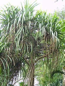 adi spensa pexal ciri khusus  tumbuhan