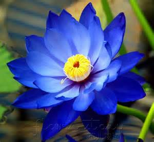 Blue Lotus High Lotus On Lotus Flowers White Lotus Flower And