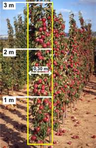 Fruit Tree Trellis Controlling Apple Tree Size By Horticultural Means Extension