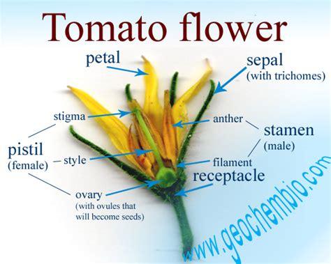 tomato flower diagram solanum lycopersicum tomato cycle flower and fruit