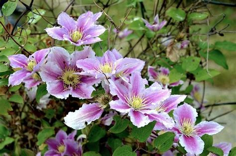 Bush Criminal Record Clematis Attack Lands Elderly Prestatyn Pair In Court Daily Post