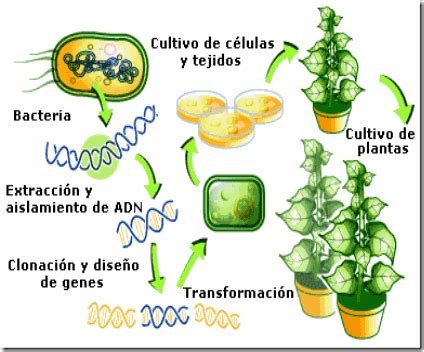 definicion de alimentos transgenicos cultivos transg 233 nicos ciencias naturales al d 237 a