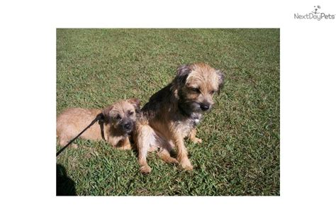 puppies for sale in la crosse wi border terrier puppies big sky breeds picture