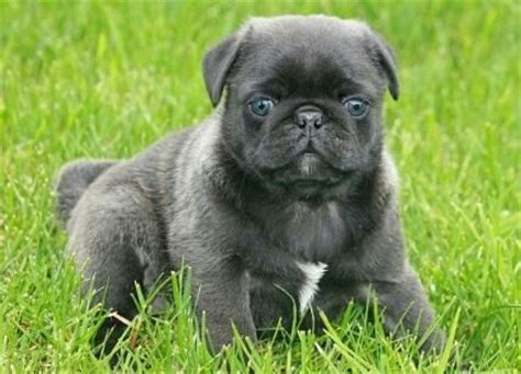 cross breed pugs 15 pug cross breeds you ve got to see to believe