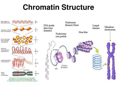 chromatin diagram ppt gene expression powerpoint presentation id 6572984