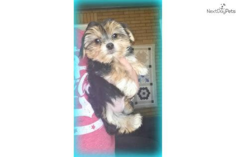 morkie puppies for sale near me morkie yorktese puppy for sale near youngstown ohio 7edaf287 02c1