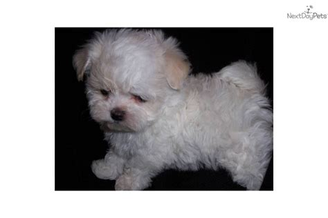 maltipoo puppies for sale in mn malti poo maltipoo puppy for sale near minneapolis st paul minnesota 081b60ef 4ba1