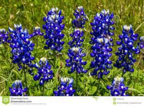 Wild Flower Meadow Seeds - closeup of a cluster of texas bluebonnet wildflowers