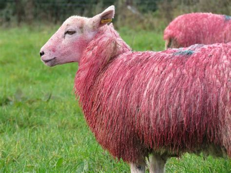 Sheep Pink local farm shop turns flock pink in tribute to breast cancer awareness month farming uk news