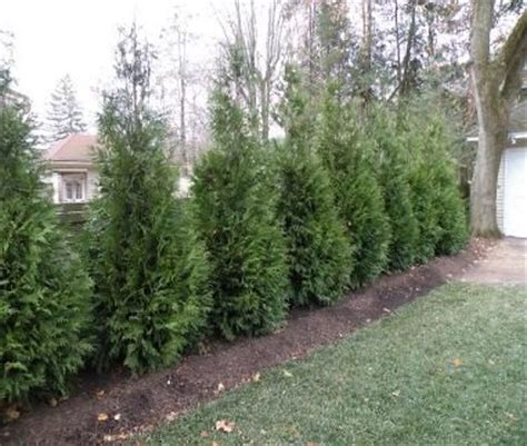 privacy trees little giants and can can on pinterest