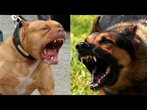 pitbull german shepherd german shepherd vs pitbull highlights badass dogs funnydog tv