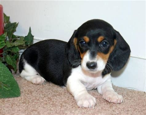 miniature dotson puppies contact dachshund breeders in mississippi home dachshunds