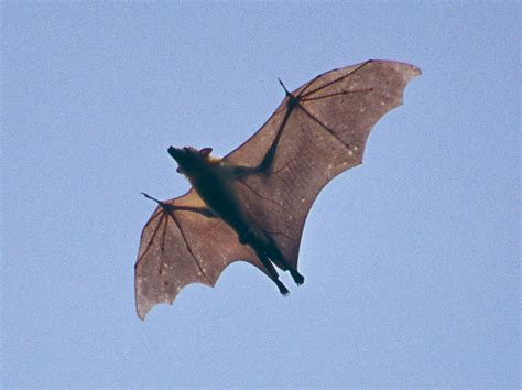 a fruit bat fruit bat