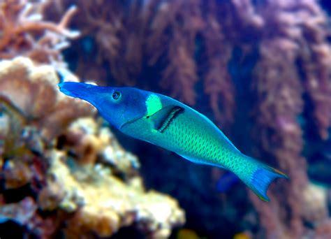 bird wrasse gomphosus varius fish profile file gomphosus varius 2 jpg wikimedia commons