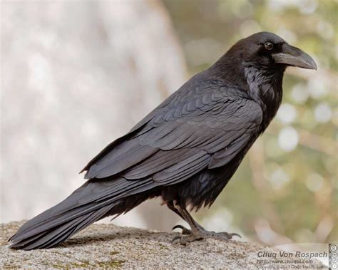 common raven ebirdr