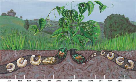 curl grubs in vegetable garden tips on controlling japanese beetles