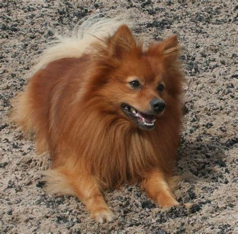 rspca pomeranian ollie rehomed animals rehomed rspca tameside and glossop
