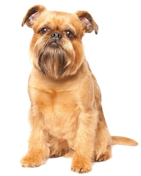 brussel griffon puppies for sale brussels griffon puppies breed information puppies for sale