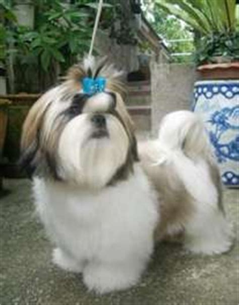 1000 images about barkley shih tzu hair cuts on pinterest 1000 images about shih tzu heaven on pinterest shih tzu